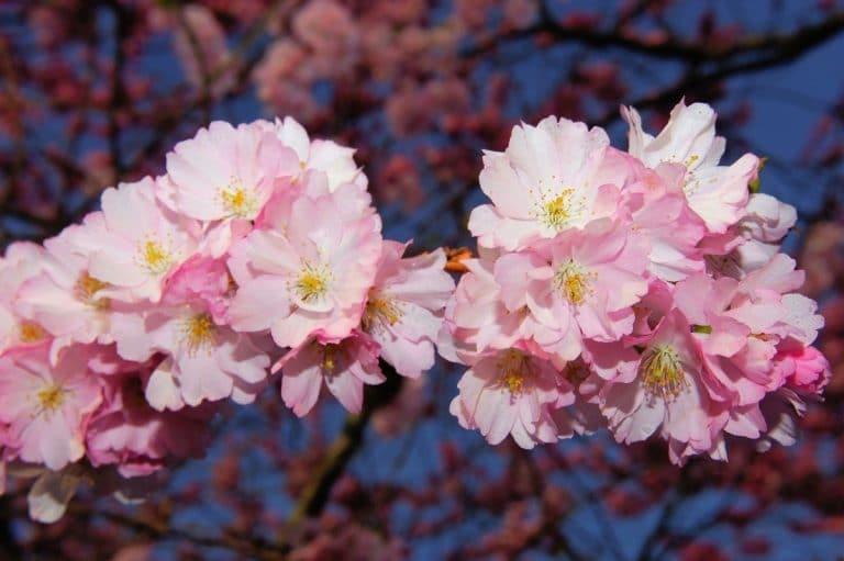 La flor de sakura brota en primavera