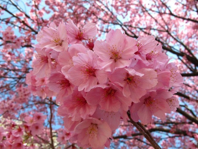 Las flores de sakura son preciosas