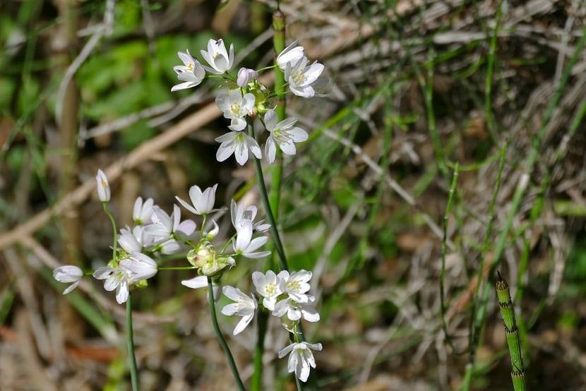 flores blancas de tamaño pequeño llamadas ajo blanco