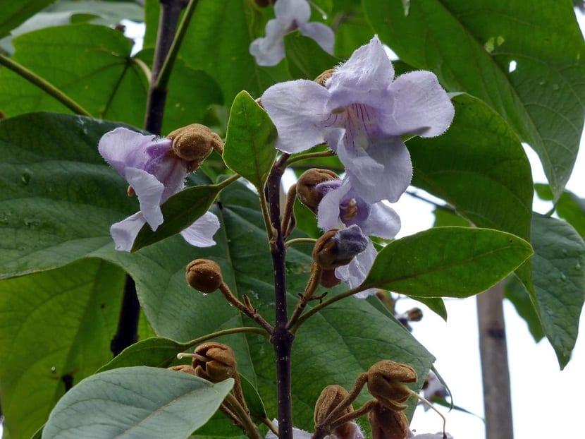 flores de color lila del arbol Paulownia elongata
