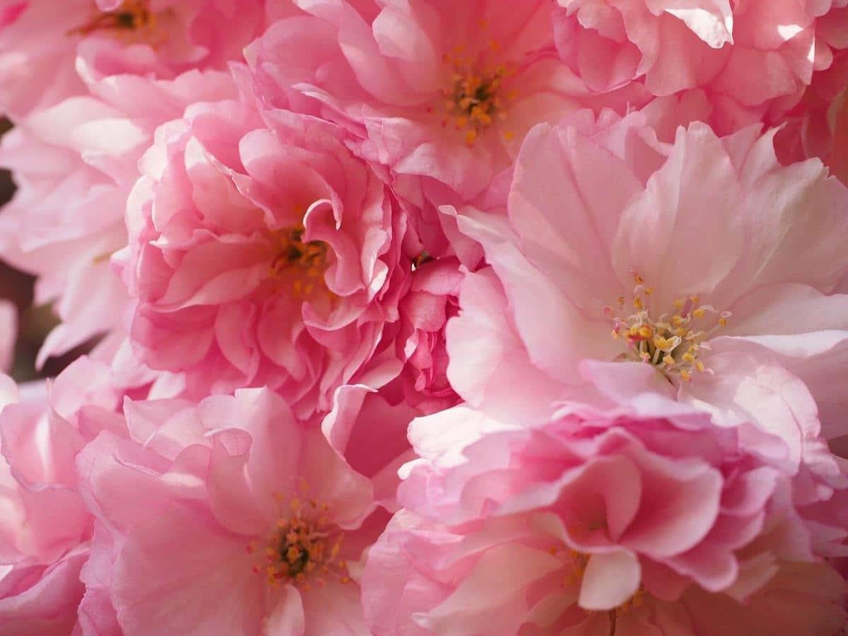 El cerezo japonés es un árbol caducifolio