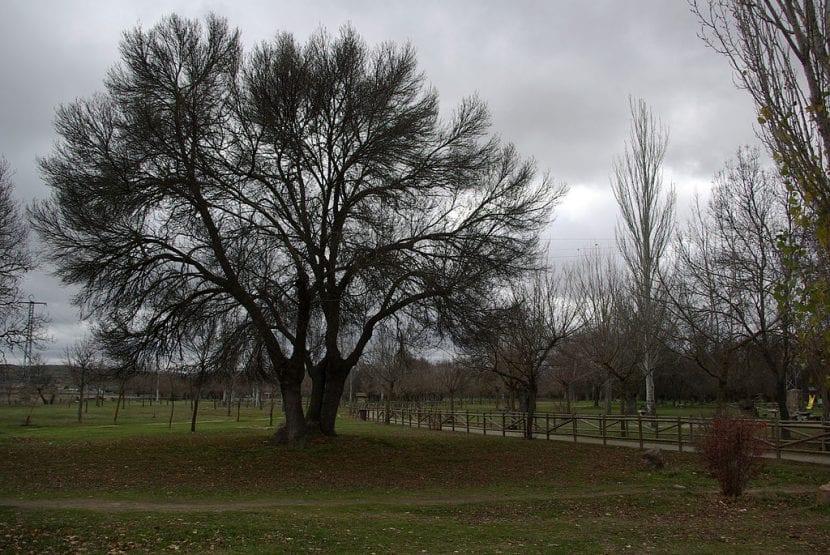 El Fraxinus angustifolia es un árbol grande