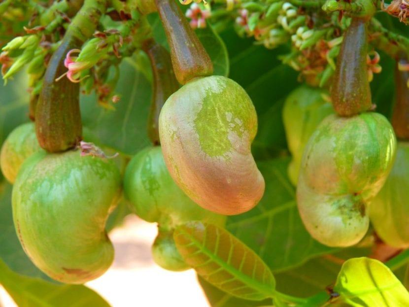 Los frutos del anacardo son secos