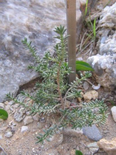 Vista de la Fumana thymifolia
