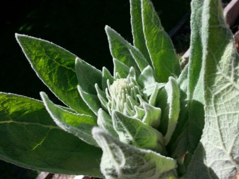 Vista del gordolobo, una planta herbácea