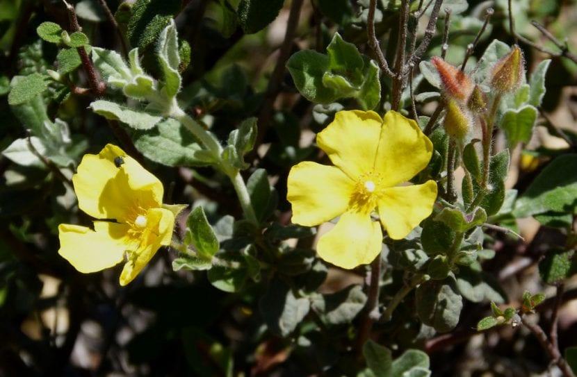 Vista del Halimium atriplicifolium