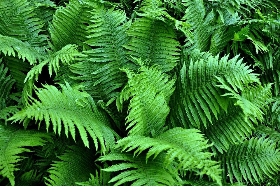Los helechos tienen hojas compuestas