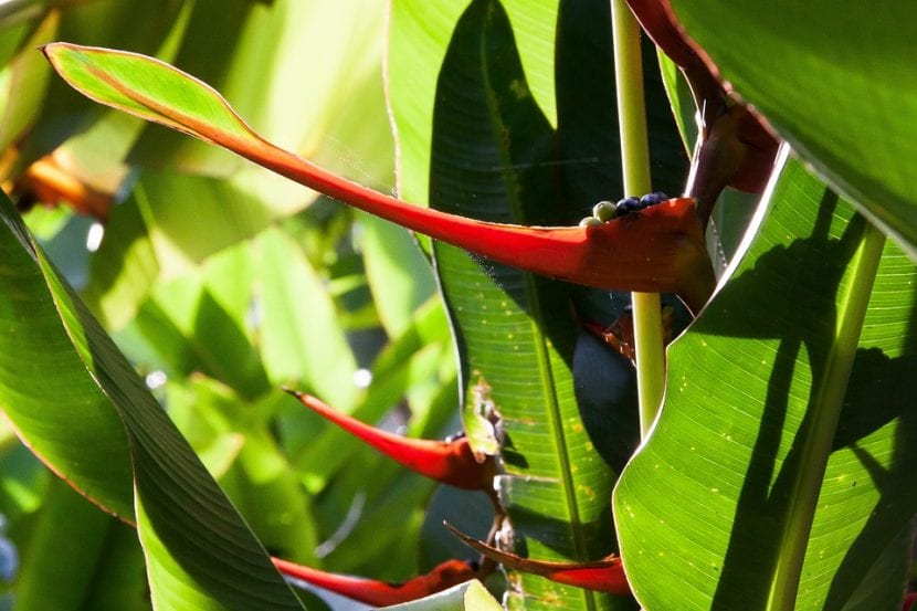 Vista de la Heliconia latispatha