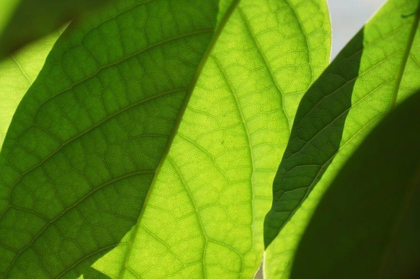 Las hojas para estar sanas necesitan calcio y magnesio