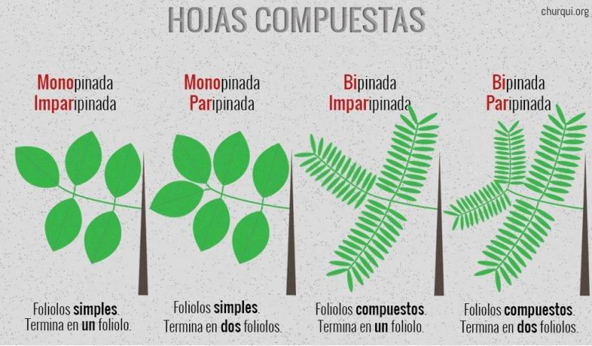Tipos de hojas compuestas