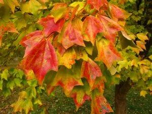 Hojas de Acer buergerianum en otoño