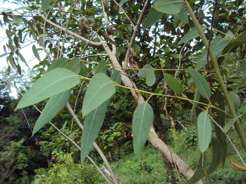 hojas verdes y alargadas del arbol Eucalyptus camaldulensis