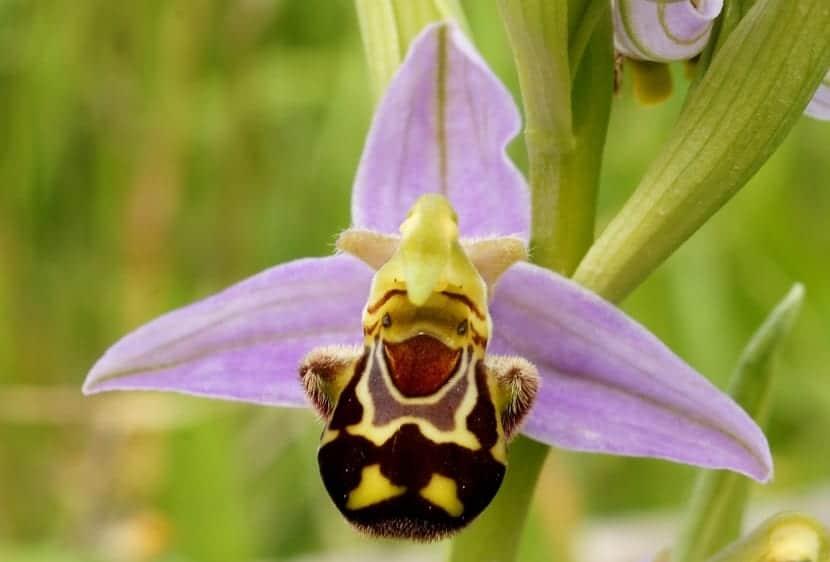 imagen orquidea de cerca parecida a una abeja