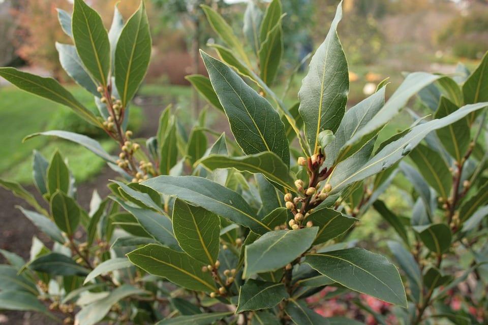 Vista de las hojas de laurel