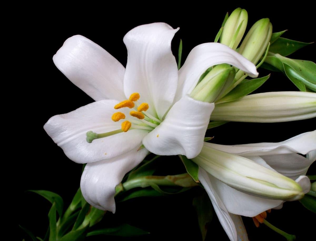 El Lilium candidum es una bulbosa de flor blanca