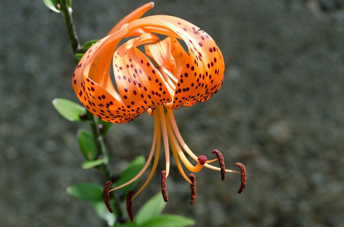 El Lilium lancifolium es una bulbosa de rápido crecimiento