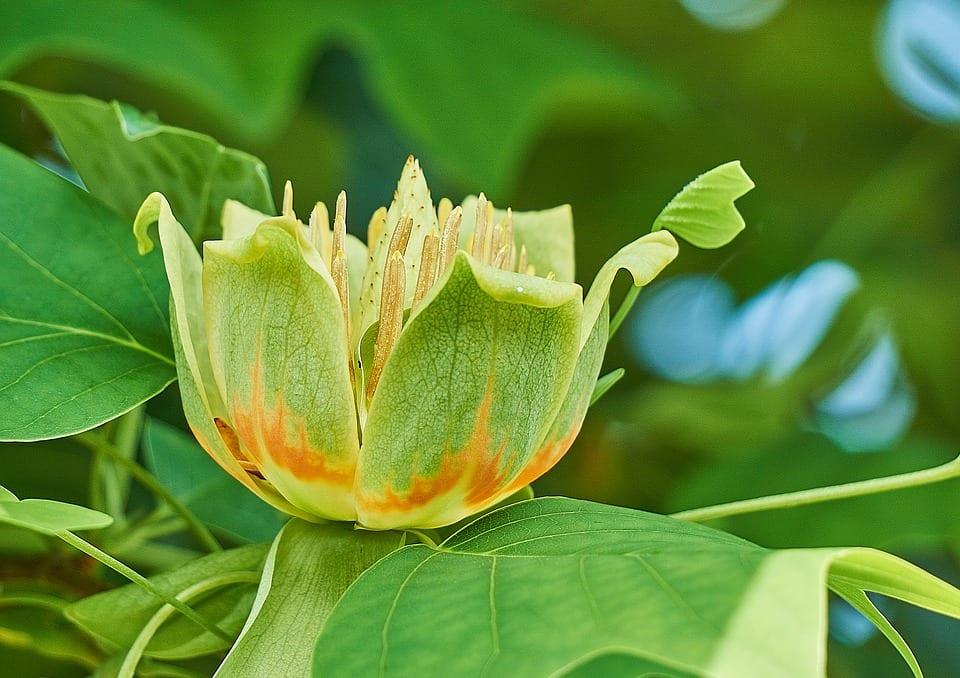 La flor del Liriodendron tulupifera es verdosa