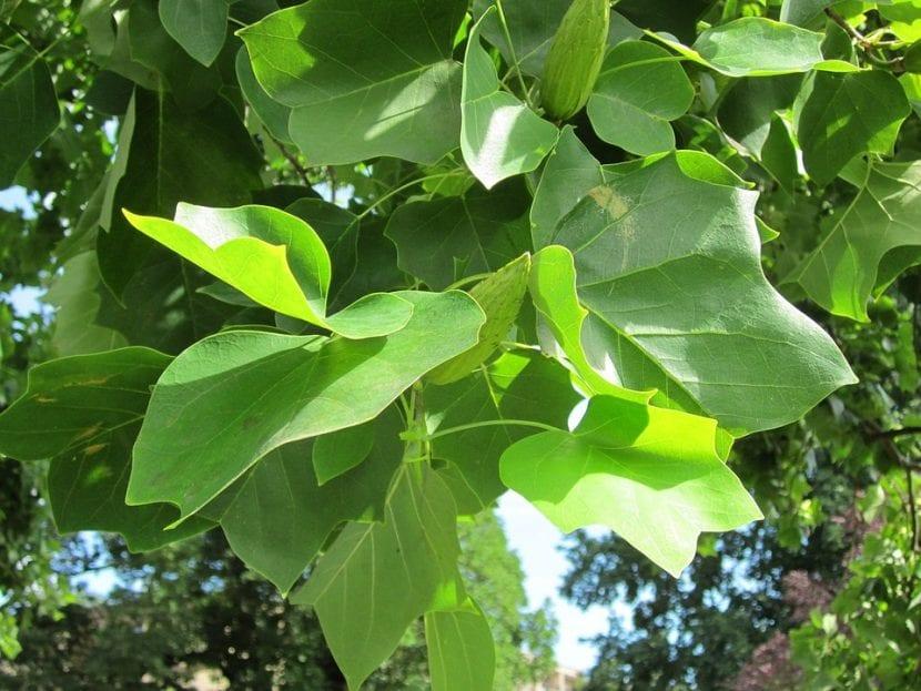 Las hojas del Liriodendron son caducas