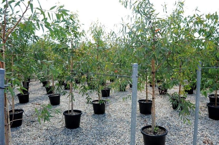 Vista de varias macetas con pequeños arboles de Eucalyptus camaldulensis