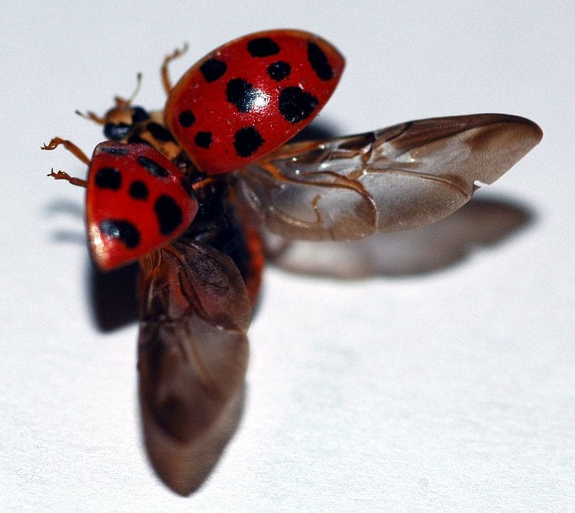 La mariquita es un tipo de escarabajo