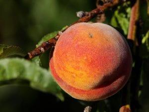 Fruto del melocotonero