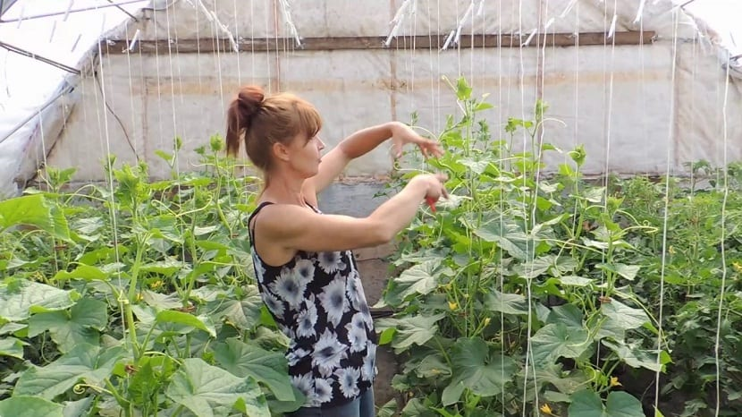 mujer en invernadero podando planta