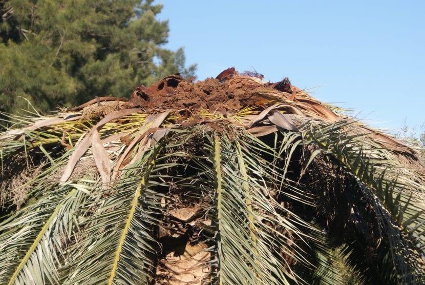 Daños producidos por el picudo rojo en la palmera canaria