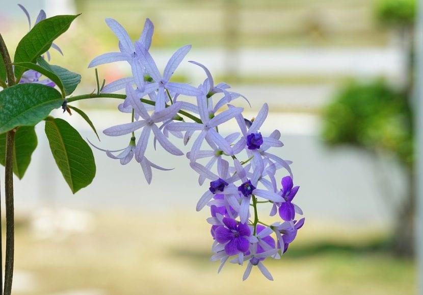 Vista de las flores de Petrea