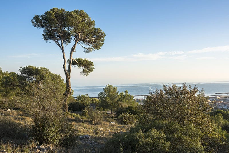 El pino es muy común en el bosque mediterráneo