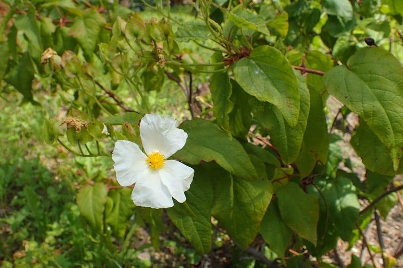 Planta con una Arbusto con pequeña flor de color blanco