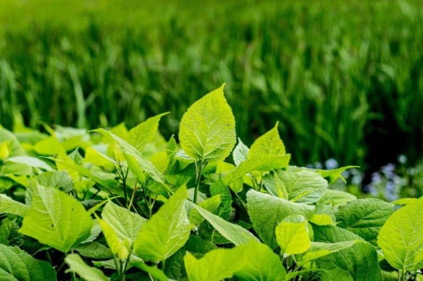 Las plantas sanas absorben y aprovechan el calcio y el magnesio