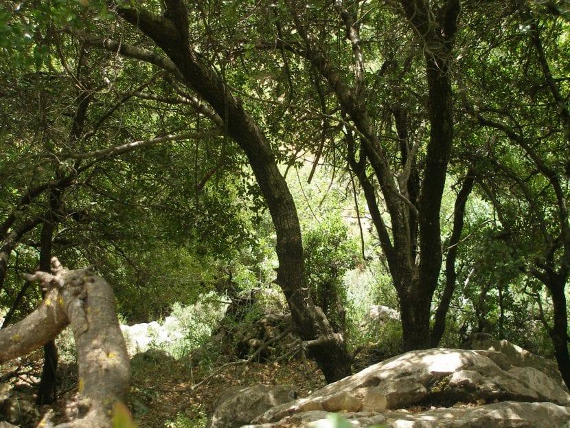 Las plantas del bosque mediterráneo son perennifolias normalmente