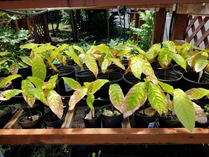 Plantas jóvenes de cacao