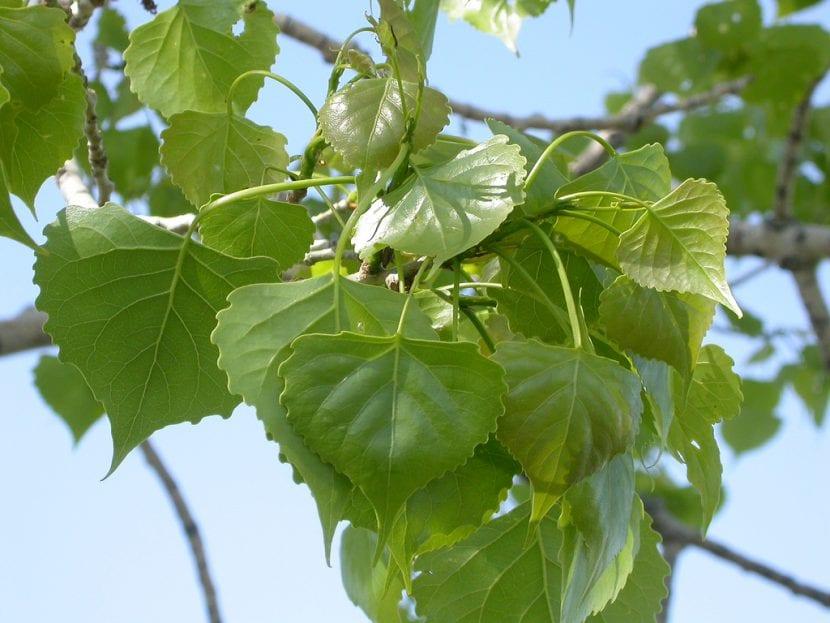 Hojas del Populus deltoides