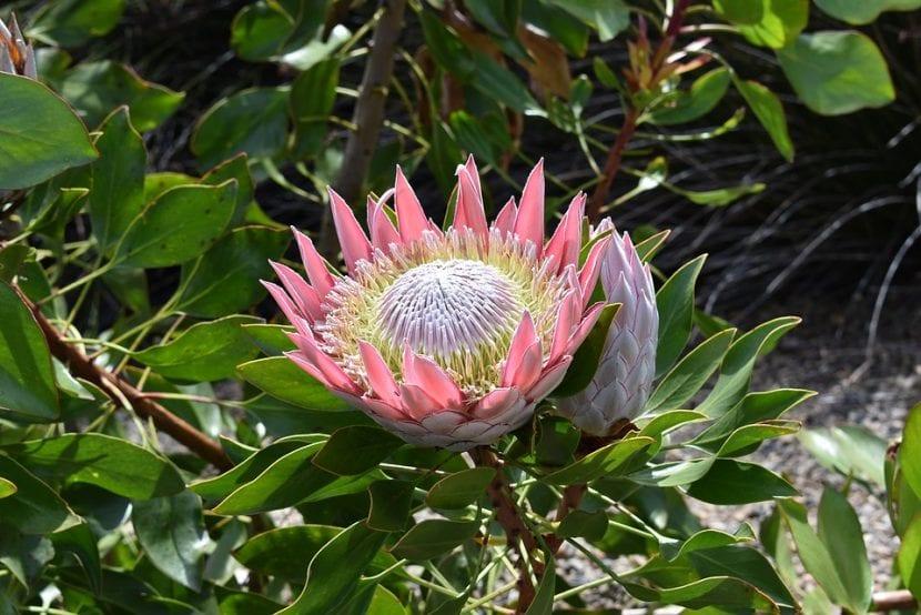 Protea cynaroides en flor