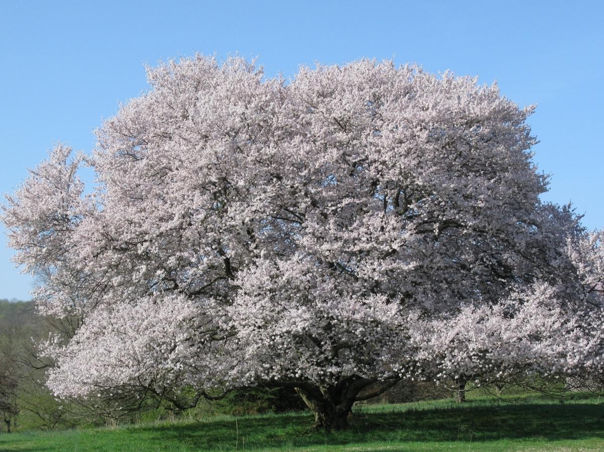 El Prunus subhirtella es un tipo de cerezo japonés