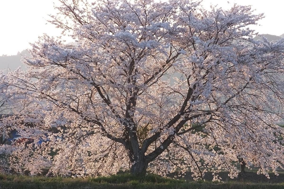 El Prunus yedoensis es una variedad de cerezo japonés