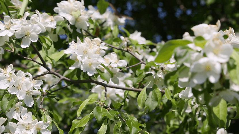 ramas del manzano con flores blancas