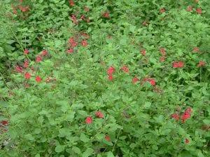 Vista de la Salvia greggii