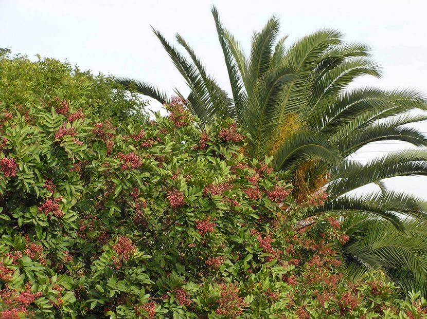 Planta de Schinus terebinthifolius