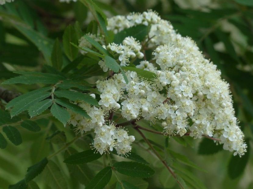 Las flores del serbal son blancas