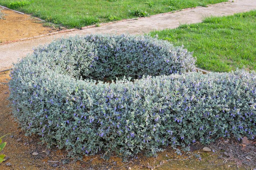 Vista del arbusto Teucrium fruticans