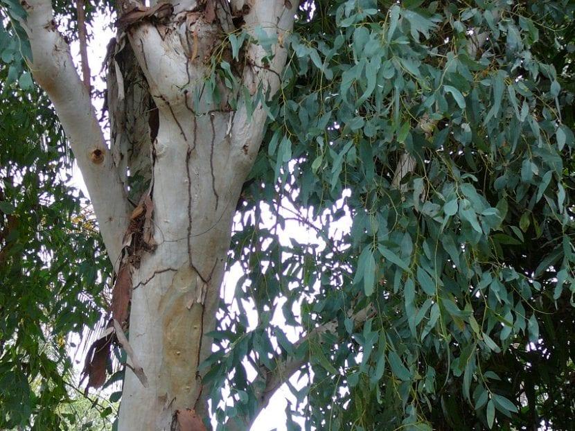 Vista del tronco del arbol llamado eucalypto o Eucalyptus camaldulensis