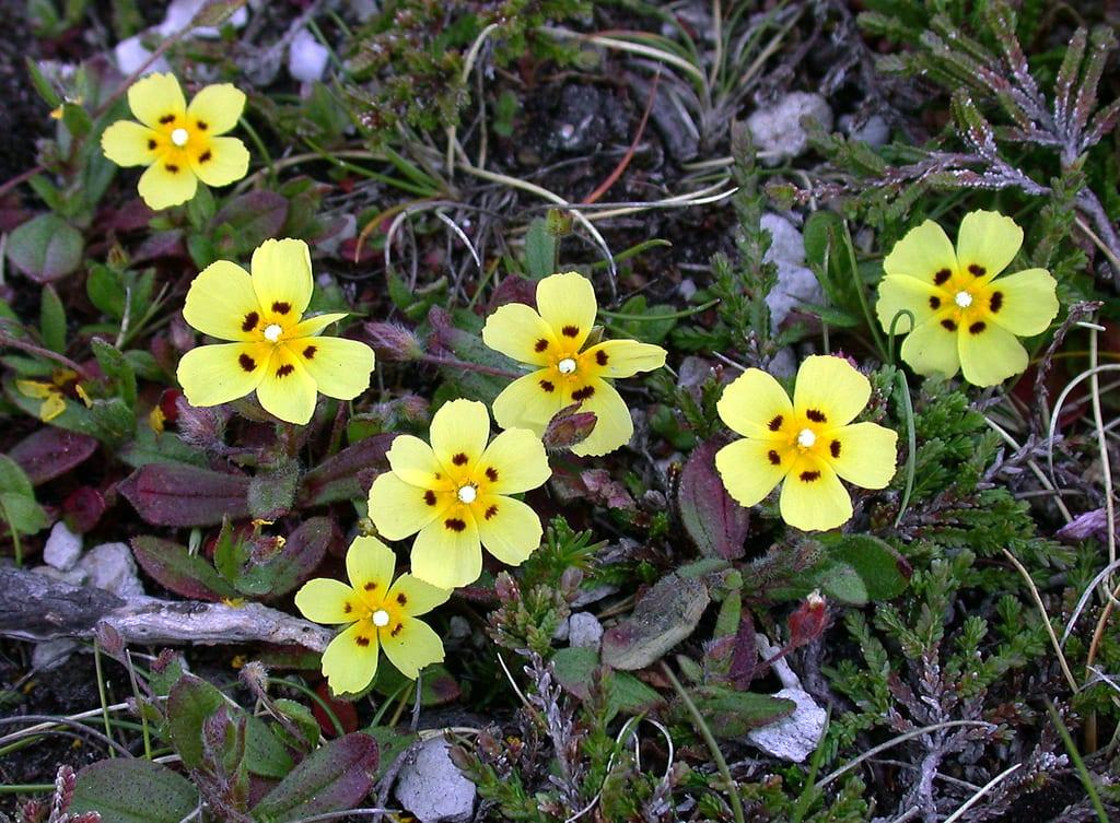 Flores de Tuberaria guttata