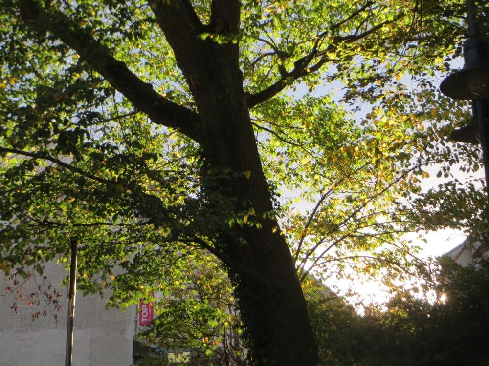 Vista del árbol Ulmus glabra