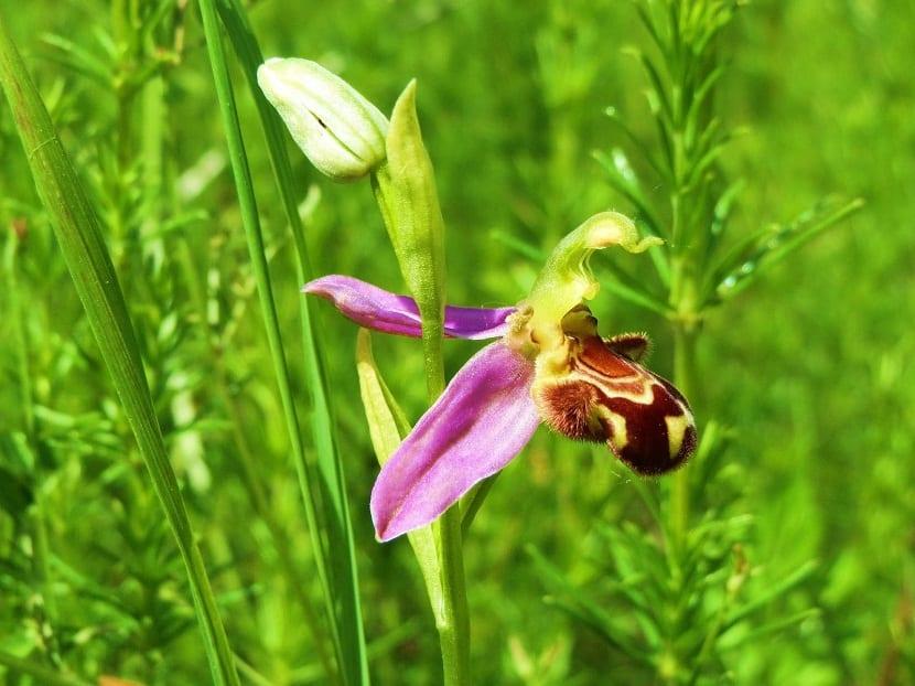 una orquidea con petalos rosas que parece una abeja