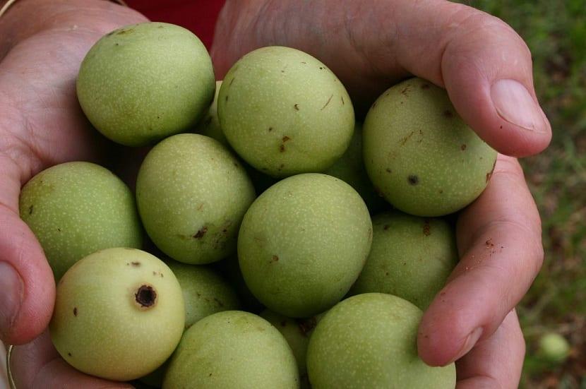 usos tradicionales de Sclerocarya birrea
