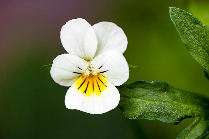 Flor blanca de Viola tricolor