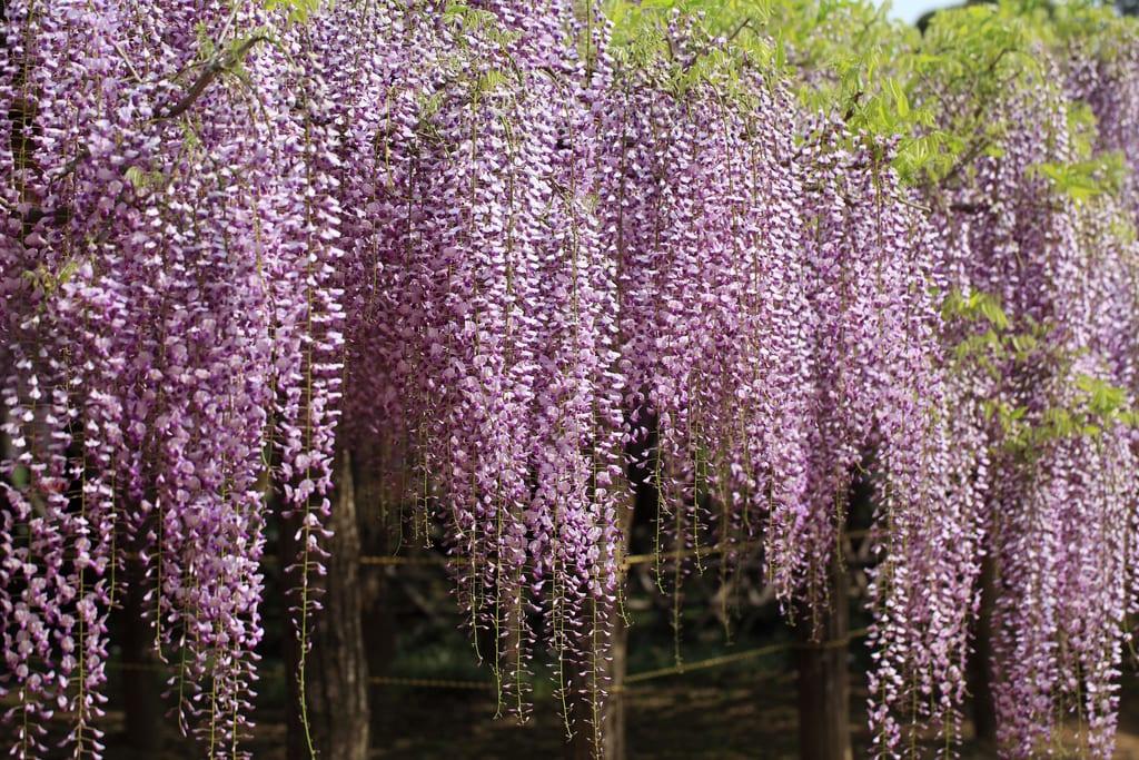 Flores de la Wisteria floribunda