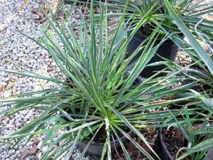 Hojas de la Yucca filamentosa